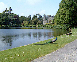 Peacock at Johnstown Castle